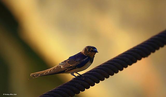 Barn Swallow at Sunset (Hirundo rustica), To Σταβλοχελίδονο - Füsti fecske