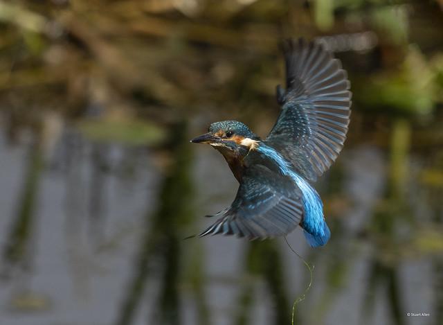 Kingfisher_B9A1476