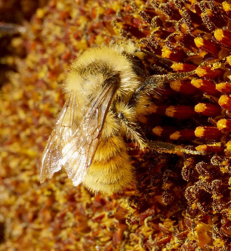 Bumblebee Pollen Detail