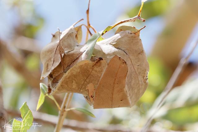 Green Ant (Oecophylla smaragdina)