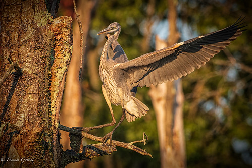 virginia action background bird greatblueheron heron huntleymeadows summer sunrise wildlife alexandria unitedstatesofamerica