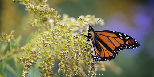 Monarch Butterfly 2019
