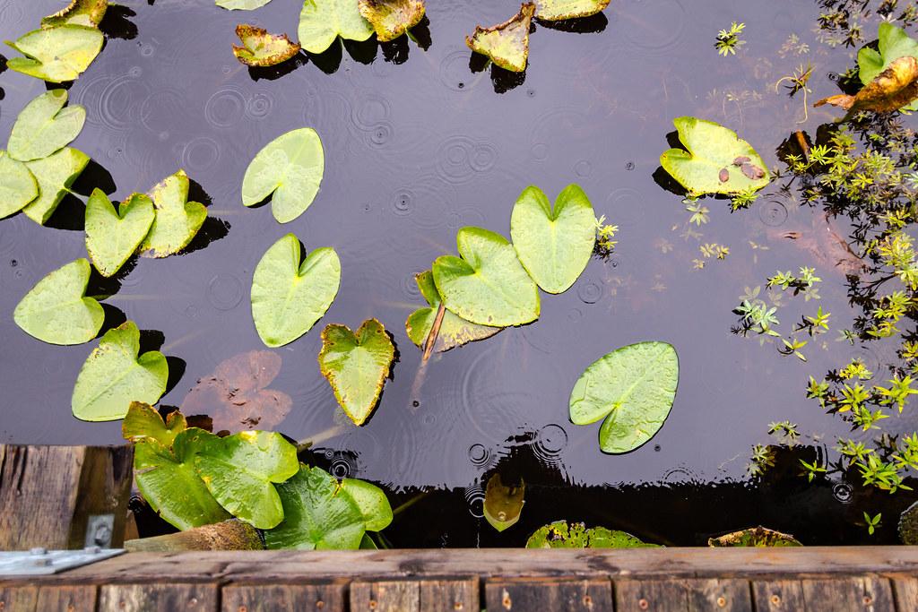 lily pads at silver lake