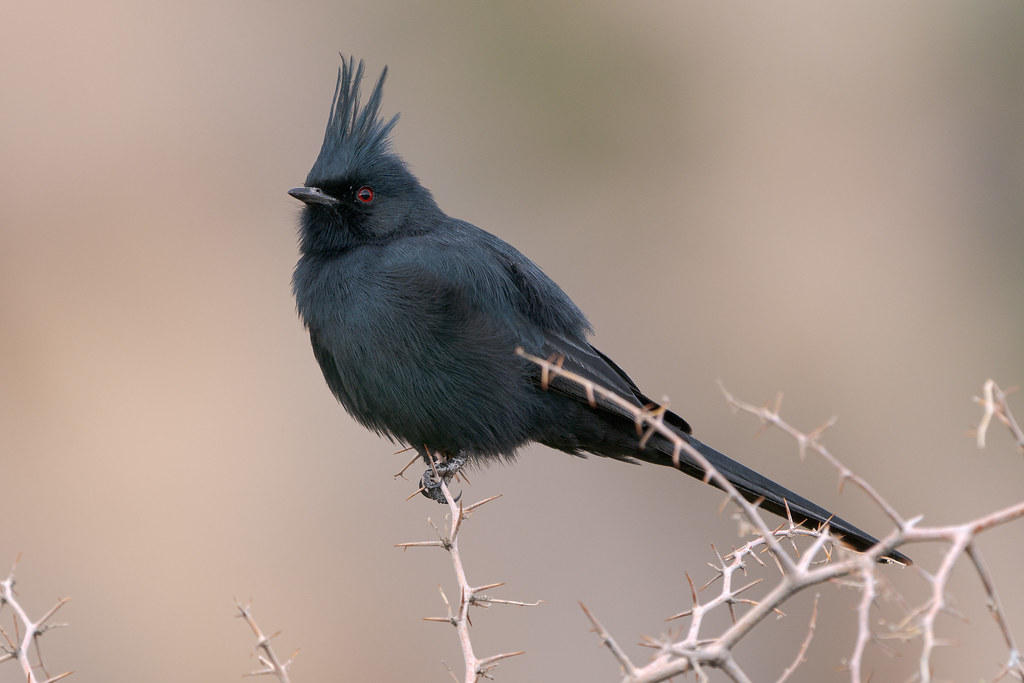 A male phainopepla perches on a thorny tree with his crest extended on a cloudy morning on the Marcus Landslide Trail in McDowell Sonoran Preserve in Scottsdale, Arizona in Decmeber 2018