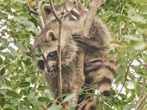 Raccoon treetop lovers 20190928