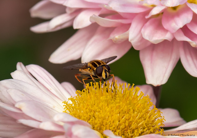 hoverfly  on pink
