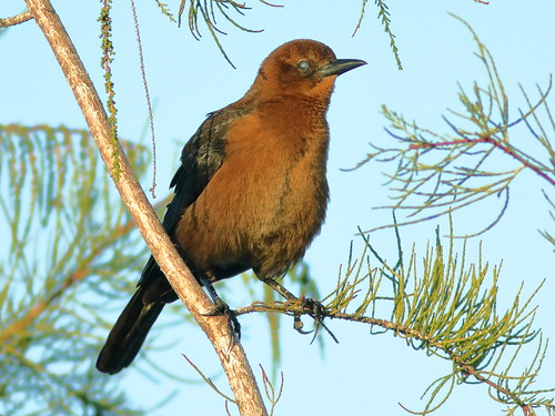 Boat-tailed Grackle female 3-20190928