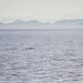 A couple of harbour porpoises