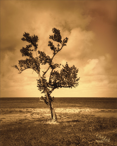 Image of a lone tree on Spanish Cay on the Bahamas
