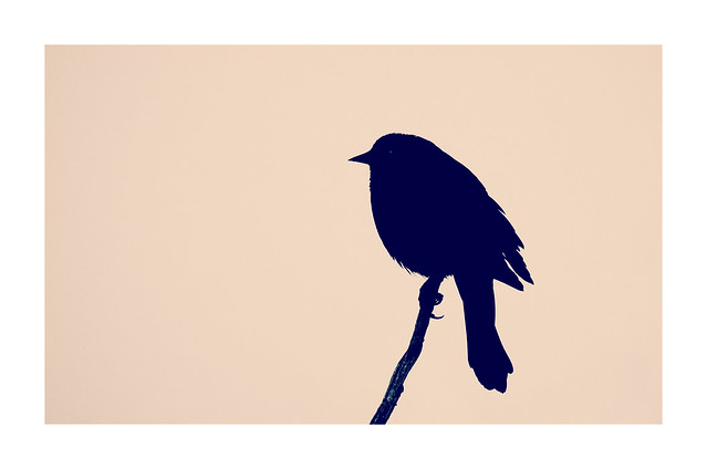Blackbird in Profile