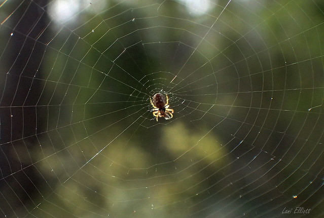 A Tiny Orb-Weaving  Spider in the Limelight