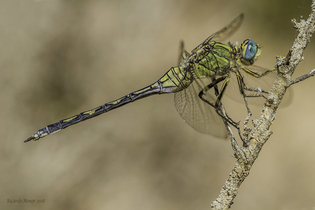Orthetrum trinacria. Young female