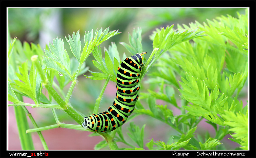 09-19 4113_Papilio machaon