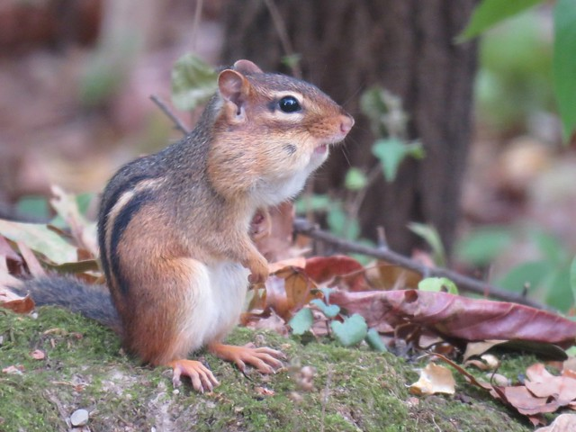 chipmunk with full cheeks (Explored)