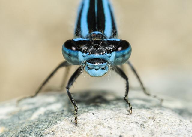 Tule Bluet Portrait - Enallagma carunculatum (Coenagrionidae) 111p-7714