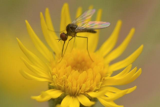 Tiny humpbacked fly on Telegraph Weed - Geron, Bombyliidae