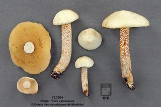 Suillus placidus (Bonord.) Singer / Bolet ivoire