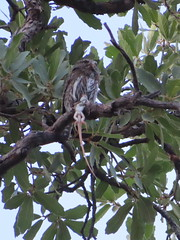 Northern Pygmy-Owl, Madera Canyon, 6/27/2019