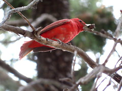 Summer Tanager, Madera Canyon, AZ 6/28/2019