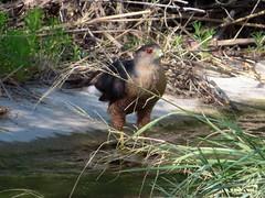 Cooper's Hawk, Sweetwater Wetlands, Tucson, AZ 6/30/2019