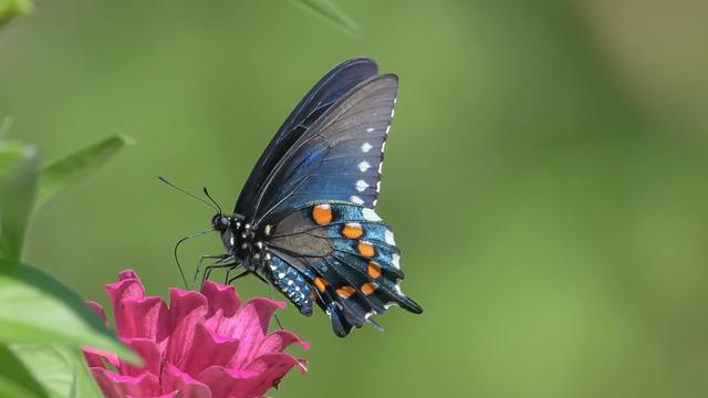 Black Swallowtail  7620
