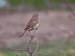 Vesper Sparrow, Mormon Lake, AZ 6/25/2019