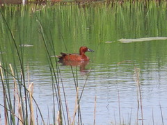 Cinnamon Teal, Mormon Lake, AZ 6/25/2019