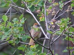 Green-tailed Towhee, Coconino NF, AZ 6/26/2019