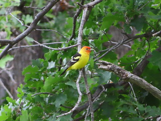 Western Tanager, Coconino NF, Double Springs Campground, AZ 6/25/2019