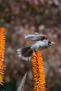 Noisy miner takes flight
