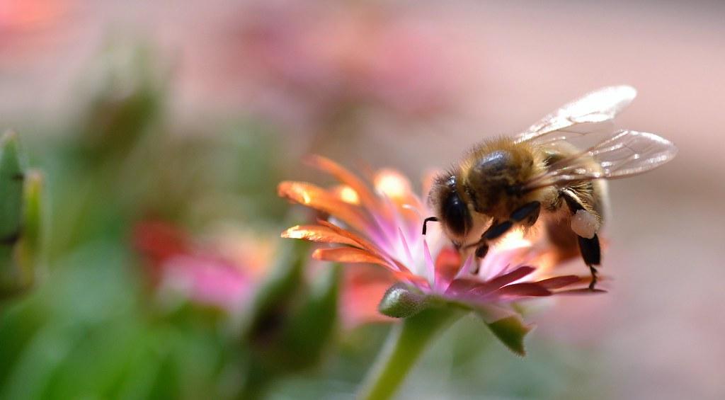 honey bee on Delosperma, Jewel of Desert - further picture