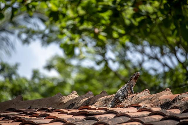 Iguana on Roof - Playa Sámara, Costa Rica