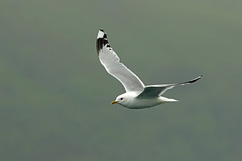 Common Gull, Loch na Keal, Isle of Mull