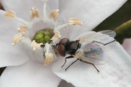 Fly on Bendigo Wax Flower