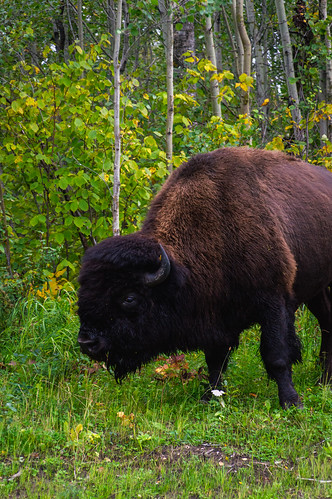 bison | by Slalon