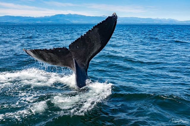 The fluke of a humpback whale