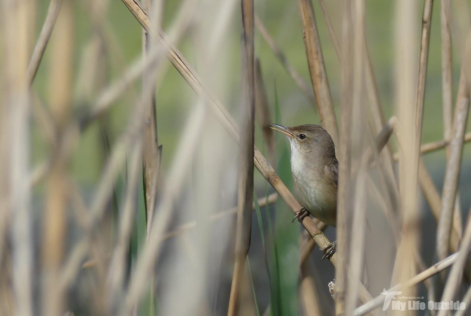 2019_04_0041 - Reed Warbler, Ham Wall