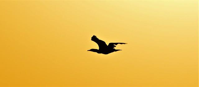 Cormorant's shadow