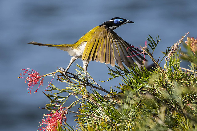 Blue Faced Honeyeater About To Take Off