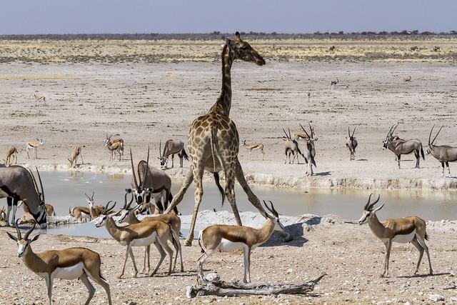La jirafa no se fía