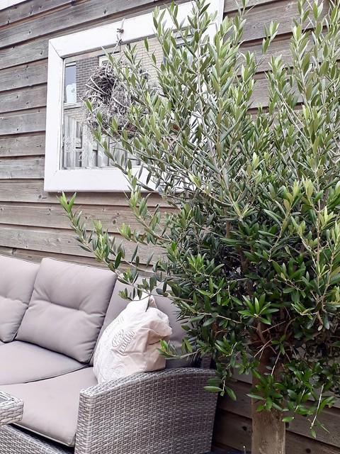 Olijfboom loungeset landelijk terras