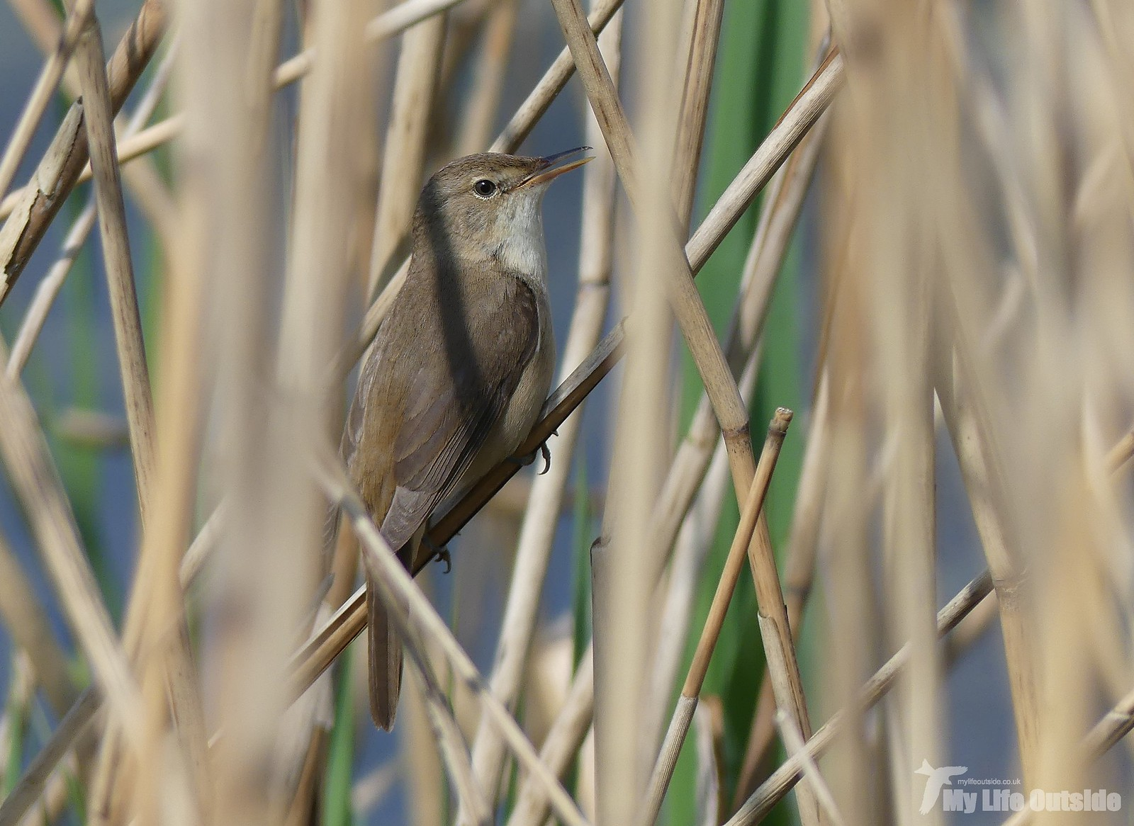 Reed Warbler At Ham Wall My Life Outside