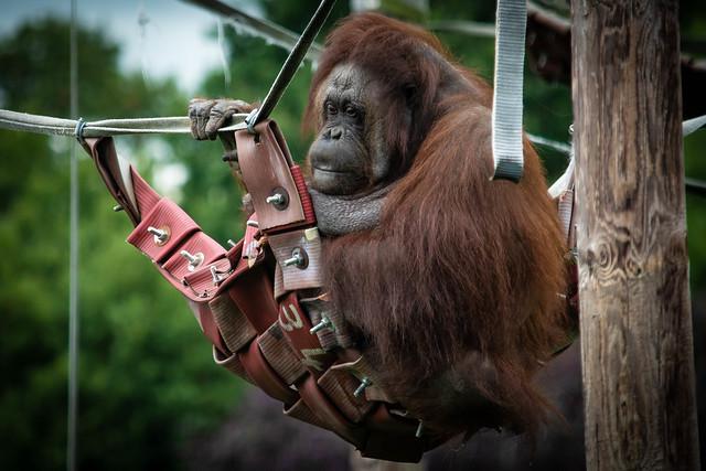 orangutan 25-09-19