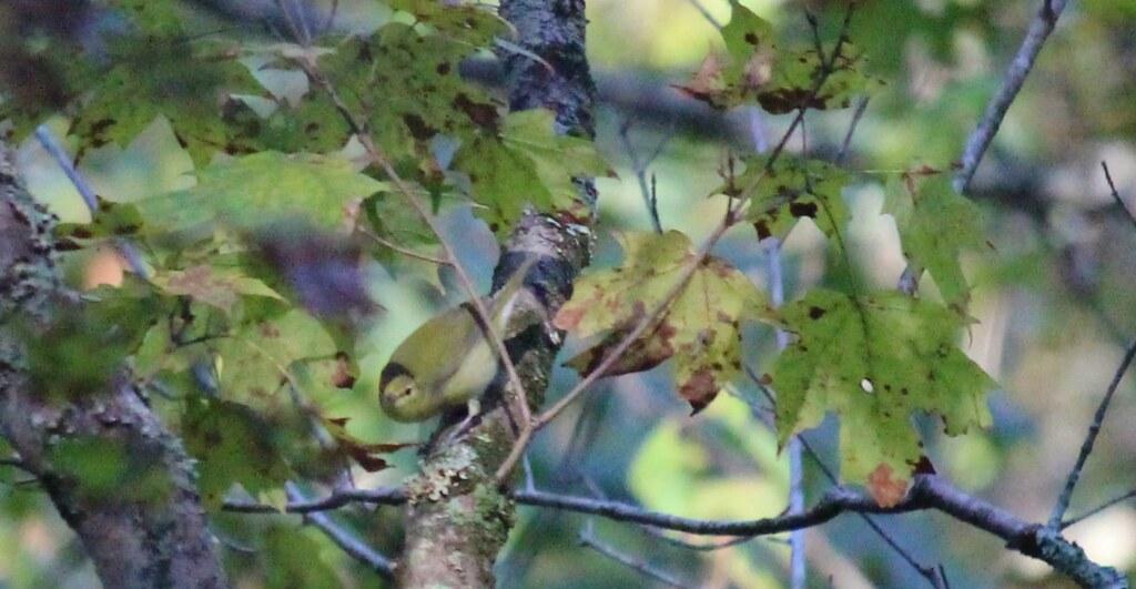 Immature Common Yellowthroat