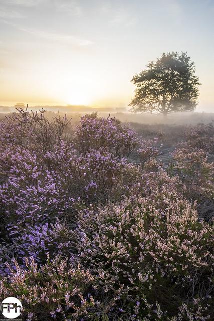 Sunrise over Purple Fields