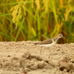 Common Sandpiper (Autumn)