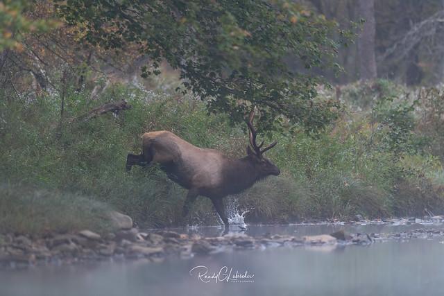 Elk of Benezette   2019 - 9