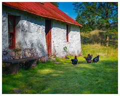 AUCHINDRAIN TOWNSHIP chickens