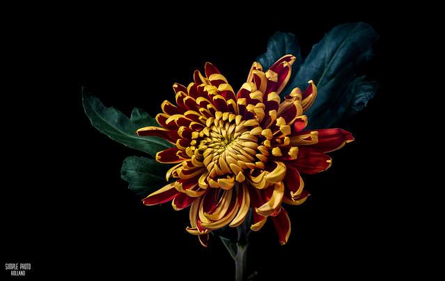 Chrysanthemum, golden daisy