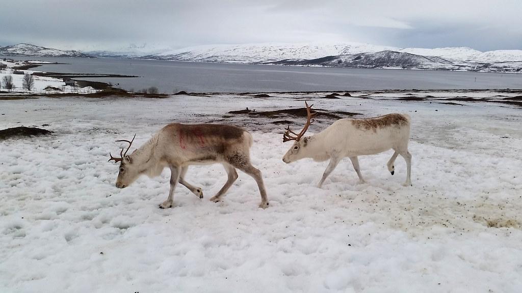 Renifery w obozie Saamów w Tromso